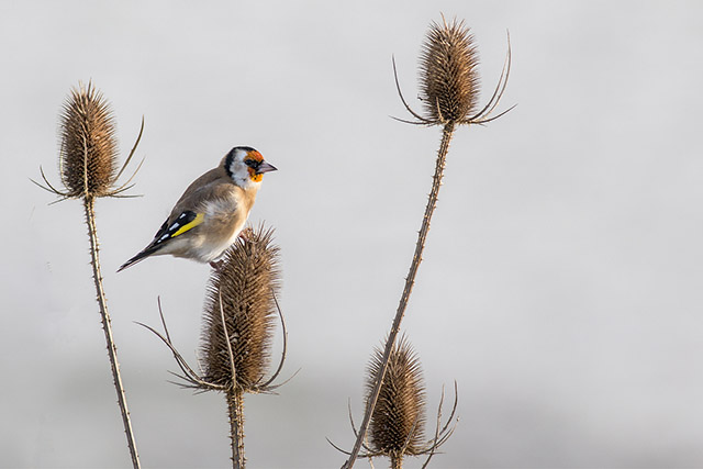 Goldfinch looking very golden
