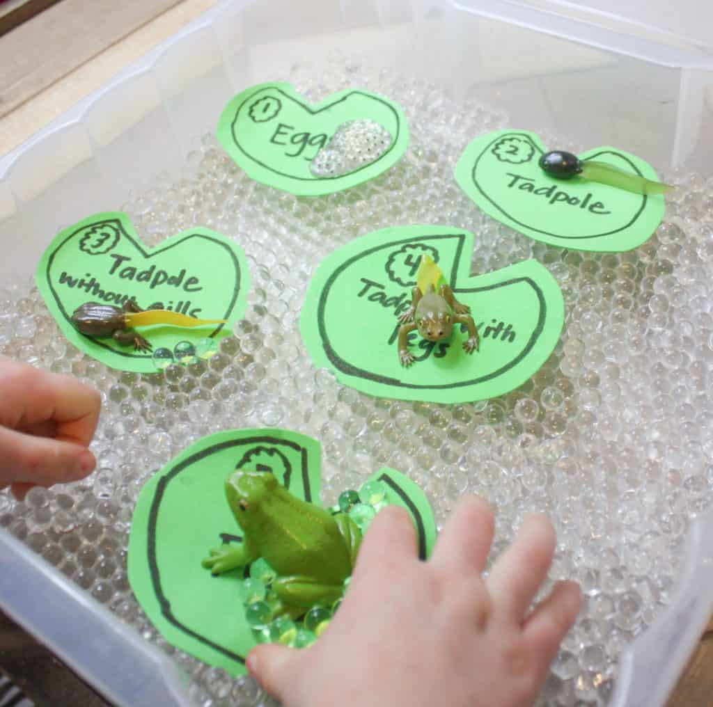 Life Cycle Of A Frog For Kids Sensory Bin With Water Bead