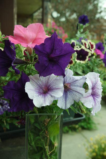 purple pink and lilac vein petunias glass vase