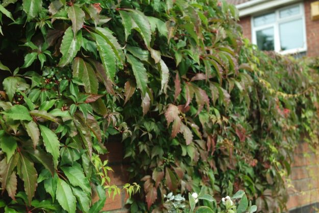 virginia creeper on a wall turning red