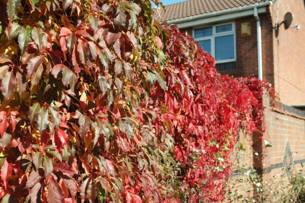 virginia creeper red on wall