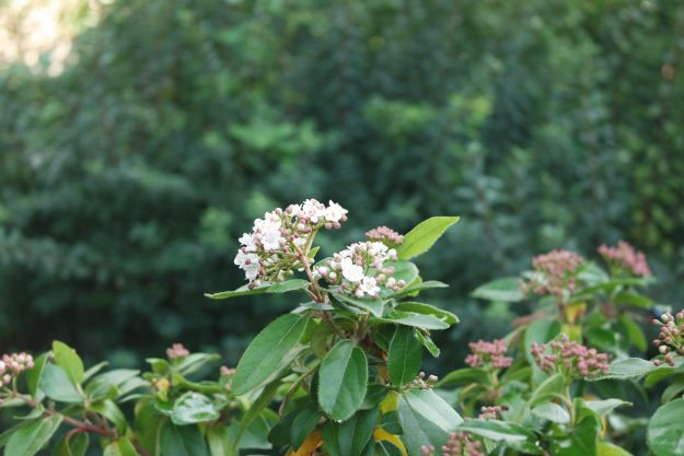 small white viburnum flowers on a branch with green privet bush in background