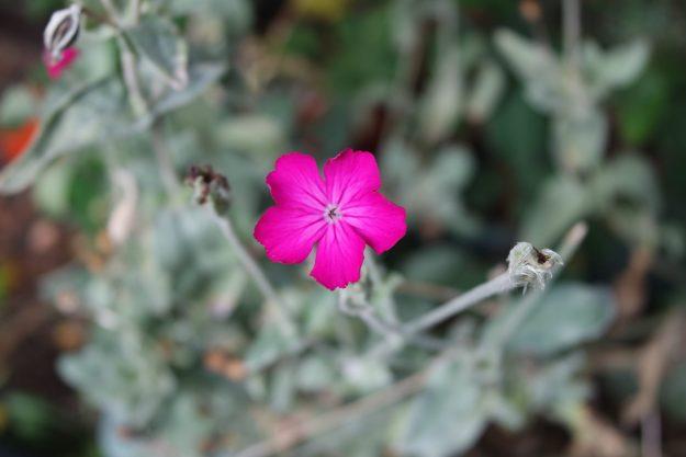 campion shocking pink flower and grey foliage
