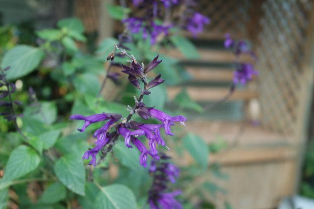 Salvia Amistad by the arbour