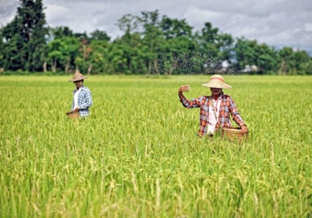A farmer spreads fertiliser in a paddy field in Demoso township in Kayah State in 2013. (Kaung Htet/The Myanmar Times)