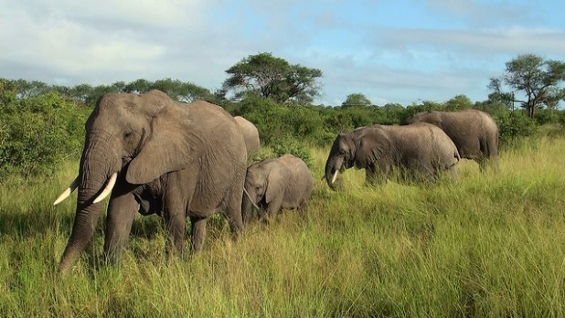 Elephants at Lion Sands Private Game Reserve, Kruger, South Africa. (Photo by Roger Smith, Creative Commons License)