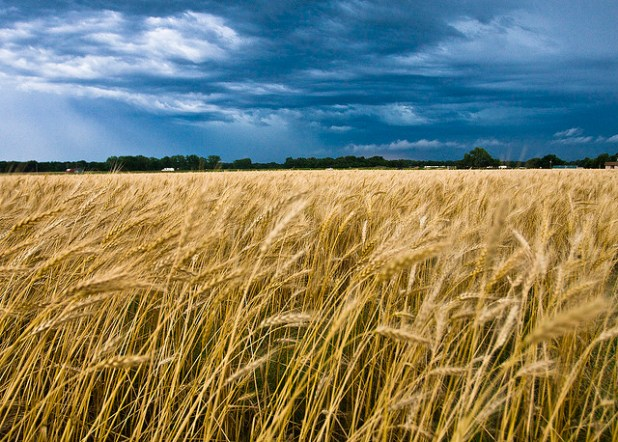 A wheat field in Oklahoma. (Photo by Oklahoma Storm, CC license)