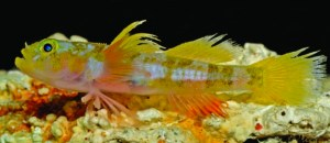 godzilla-goby-fish