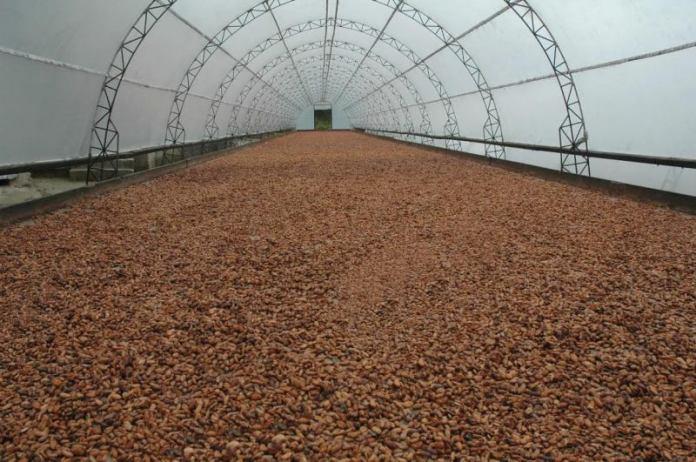 El uso de nuevas tecnologías ha mejorado la calidad del cacao dominicano