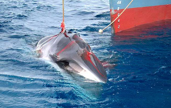 La cacería de ballenas es rechazada por millones de personas en todo el mundo