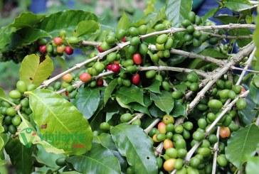 CODOCAFE dice se recuperan plantaciones de café
