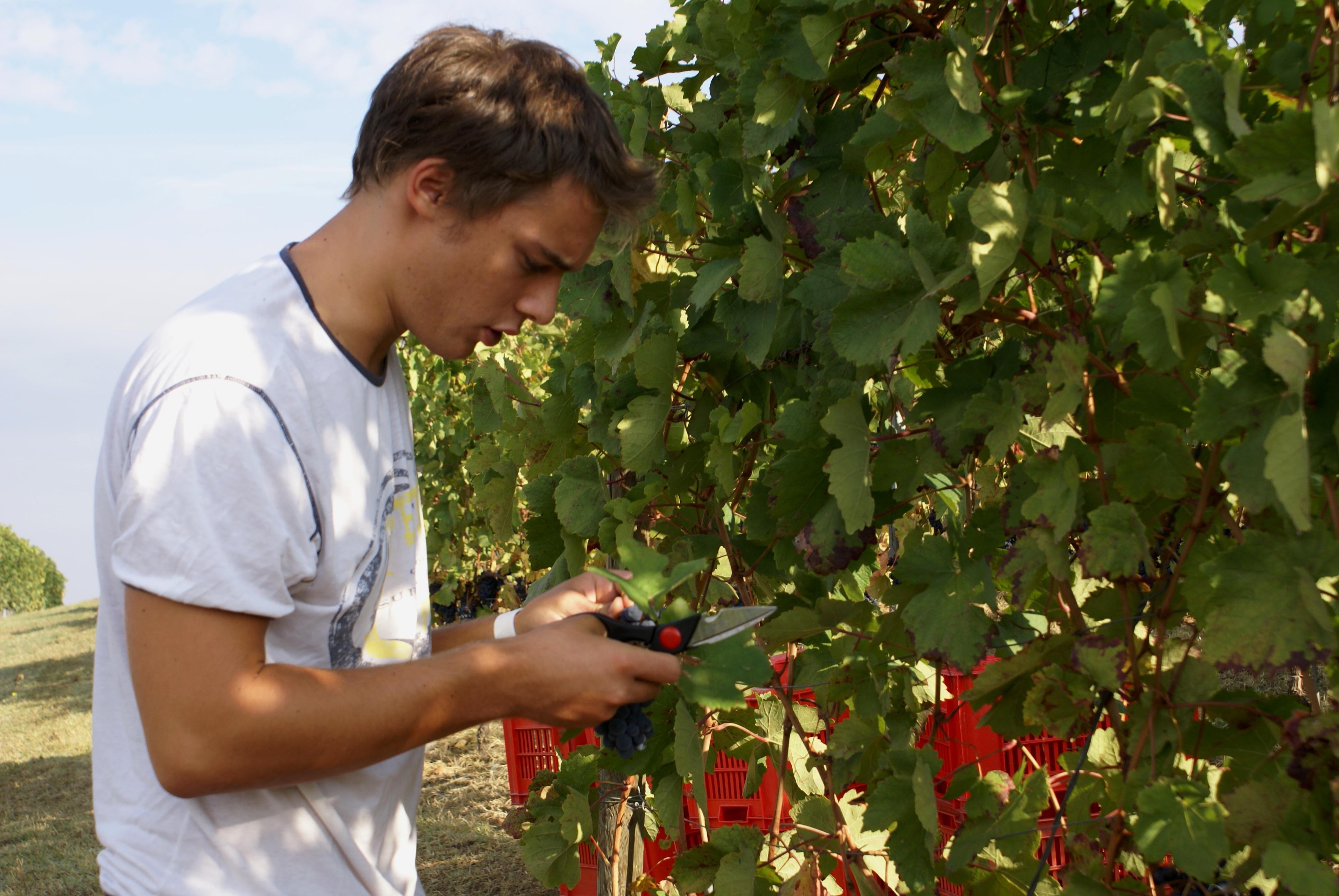 """Arturo sta selezionando i grappoli per la """"sua"""" Barbera d'Asti """"Arturo"""" DOC."""