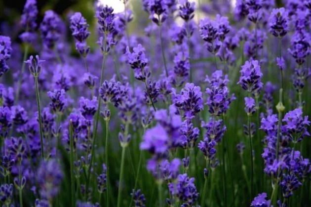 Image   Beautiful Lavender flowers 34658215 640 426 jpg   Animal Jam     Beautiful Lavender flowers 34658215 640 426 jpg