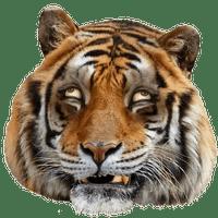 Giant Realistic Flying Tiger Uncle Grandpa Wiki Fandom