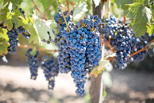 Vigne et grappes de raisin
