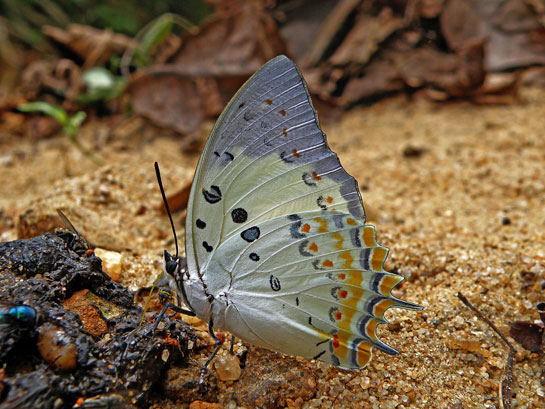 Some 320 species from six families have been recorded in the Garo Hills, many protected under Schedule 1 of the Wildlife Protection Act. This includes rare species such as this jewelled nawab butterfly, which, together with others such as the China nawab and stately nawab sport extravagant colours thanks to the iridescent scales that cover their wings.
