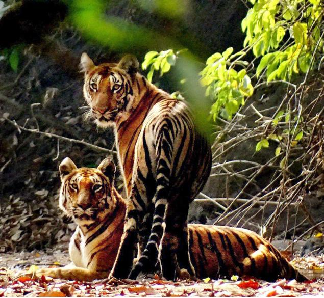 An image of tigers in the Parambikulam Tiger Reserve captured by S. Babu, a beneficiary of the community-based forest management practices implemented by the Forest Department.