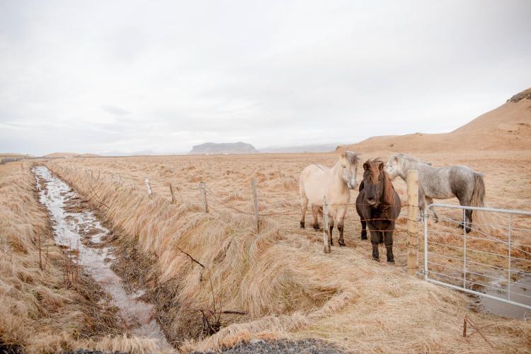 Icelandic Horses in Vik Iceland