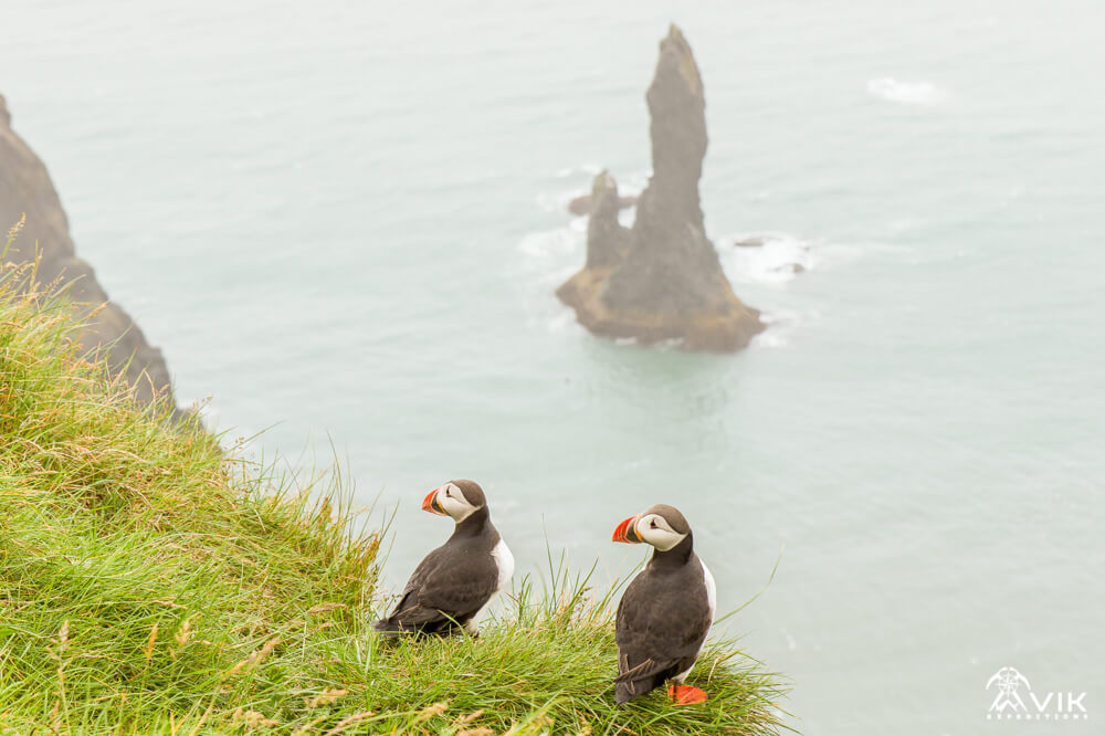 Icelandic Puffins with Reynisdranger behind