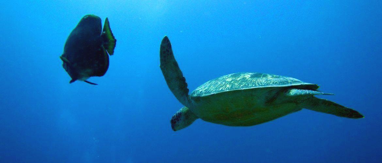 Une tortue verte accompagnée d'un Platax durant une plongée à Gili Trawangan
