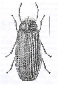 An adult beetle.