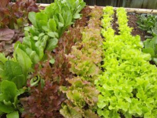 Fresh grown lettuces