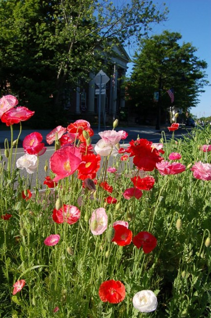Traffic Circle poppies