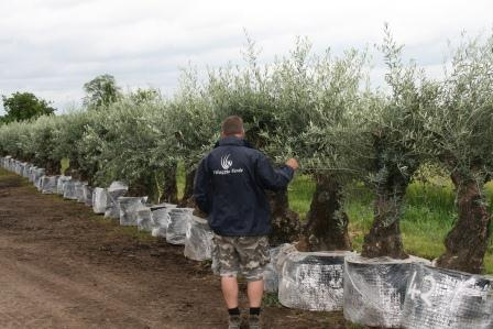 Ancient and Gnarled Olive Tree**We always have similar trees in stock please call or email us**