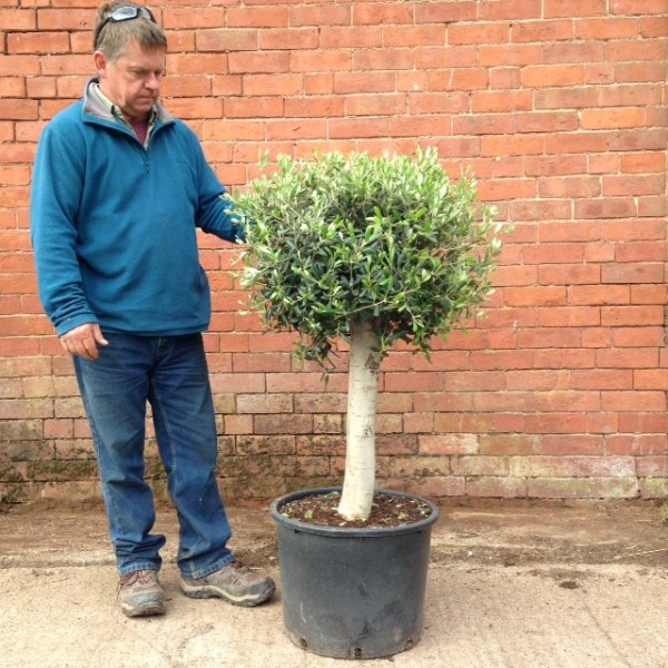 Mature Short Trunk**We always have similar trees in stock please call or email us**