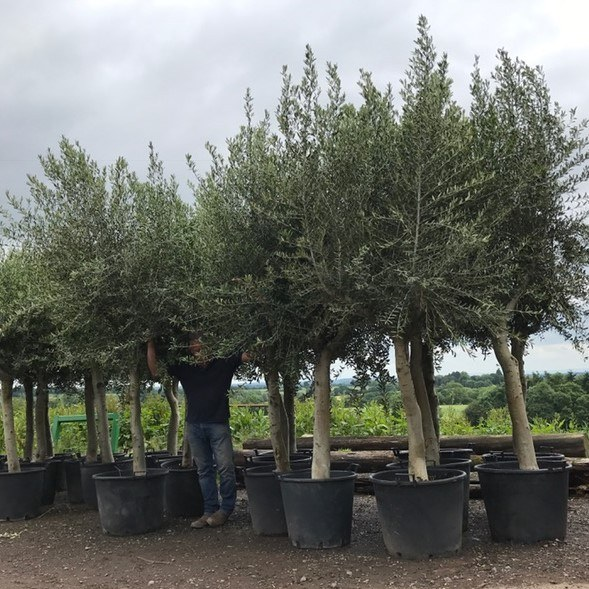 Mature Standard Olive Tree**We always have similar trees in stock please call or email us**