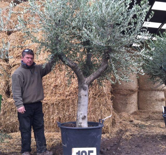 Olive Tree code 105