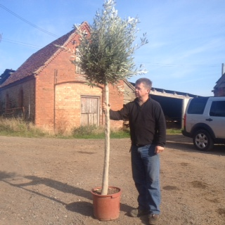 Tall Clipped Olive Trees - Please ask if you are looking for a tree like this