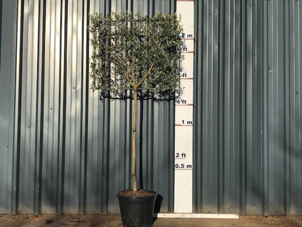 Pleached Olive Tree Panels (Please call us if you are looking for panels)