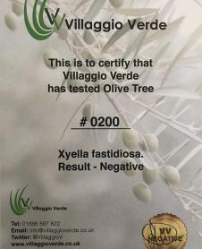certified-olive-tree-supplier
