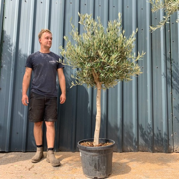 Olive Tree Code 35 (Generic Picture)