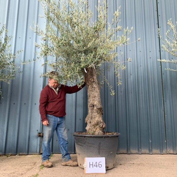 Olive Tree Girona (generic picture)