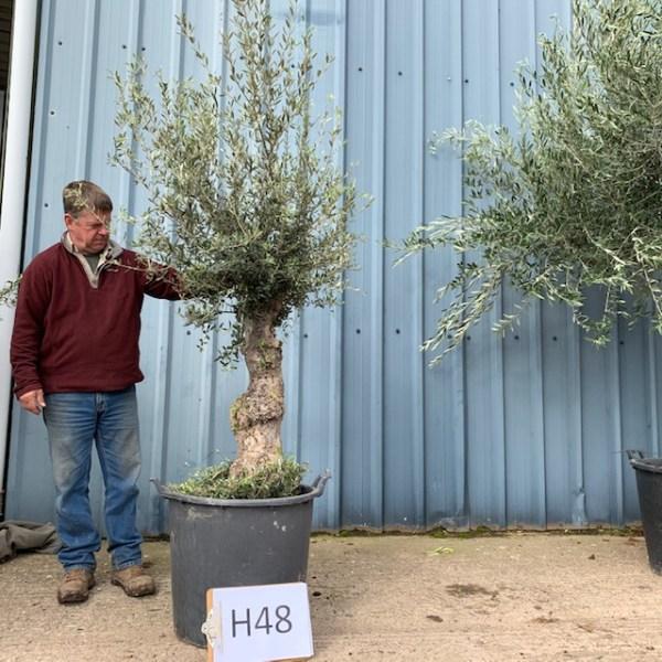 Olive Tree Turis (generic picture)