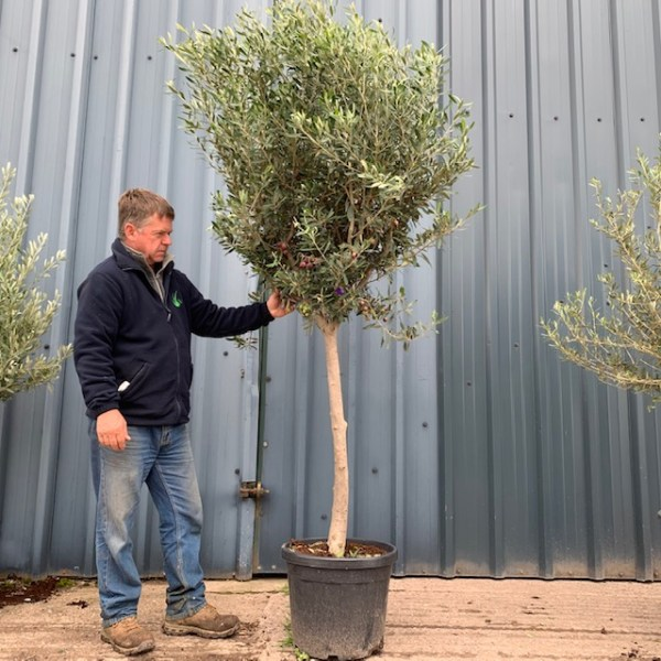 Olive Tree Spiral 60cm (generic picture)