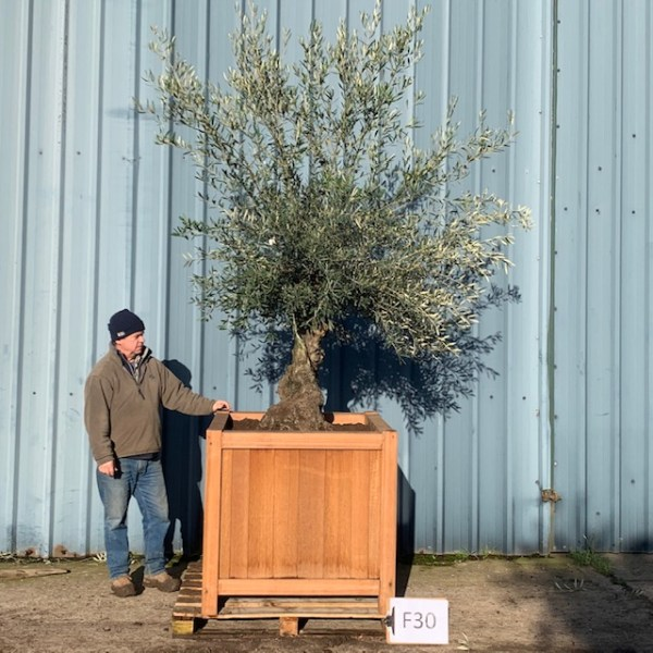 Olive Tree F30