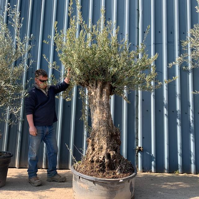 Olive Tree D47