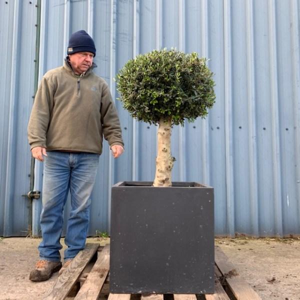 Olive Tree FP3