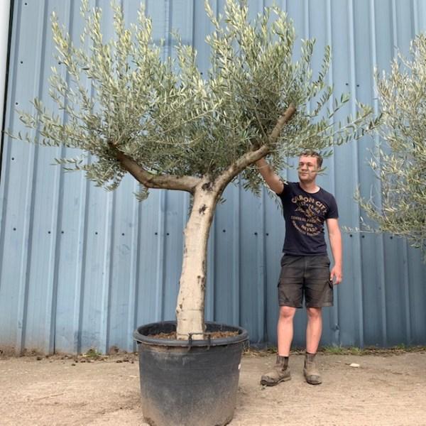 Olive Tree Specimen L124