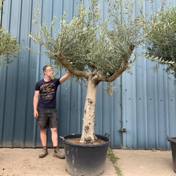 Olive Tree Specimen L135