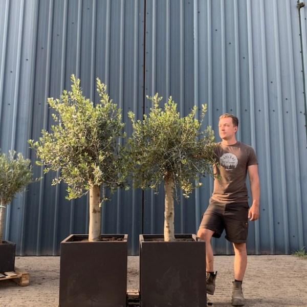 Olive Tree Specimen Pair L229