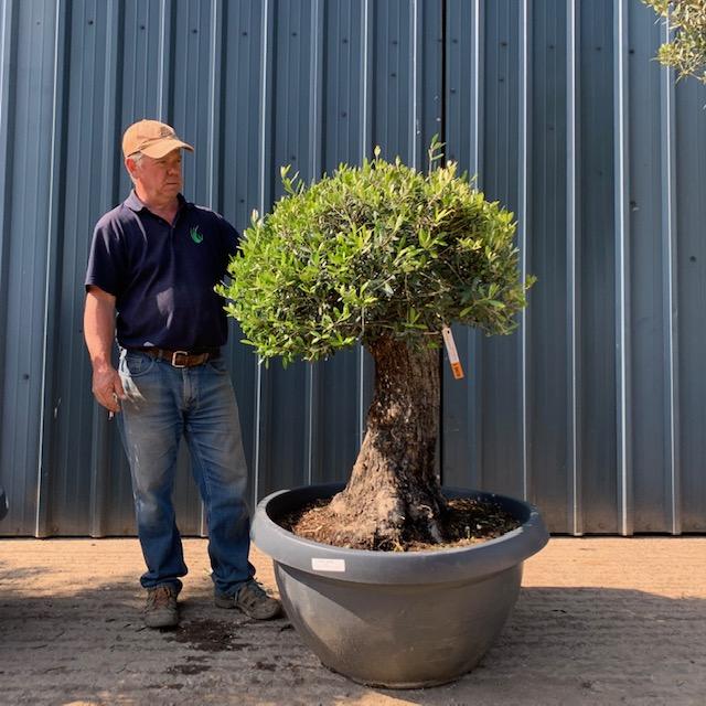 Mature Olive Specimen L470