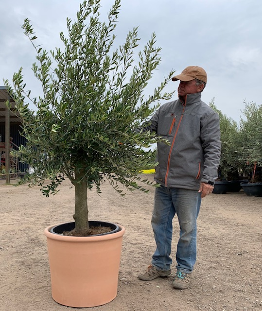 Olive Tree Specimen and Pot Combo (Generic Photo)