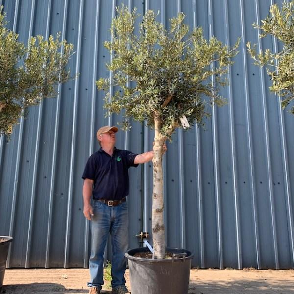 Mature Olive Specimen L517