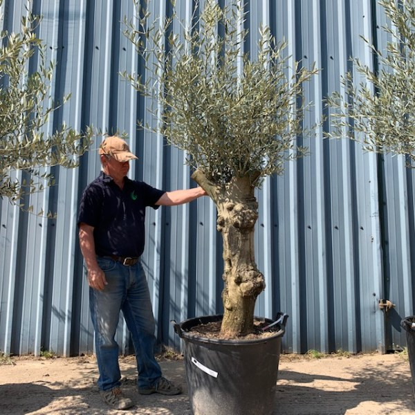 Olive Tree Patio Collection L396