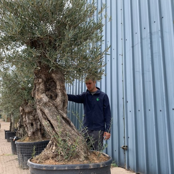Olive Tree Specimen D1