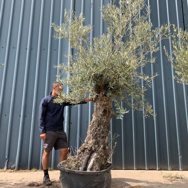 Olive Tree Specimen D15